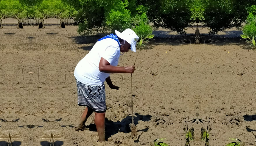 Director, Joyce Muchena planting trees at the Mangrove Forest, Mombasa